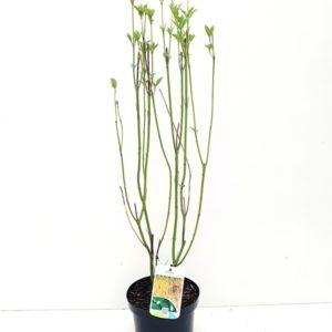 Cornus geel – Cornus sericea 'Flaviramea'