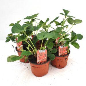 Aardbei planten