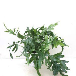 Phlebodium 'Blue star' in pot