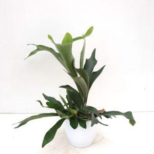Platicerium Bifurcatum in pot
