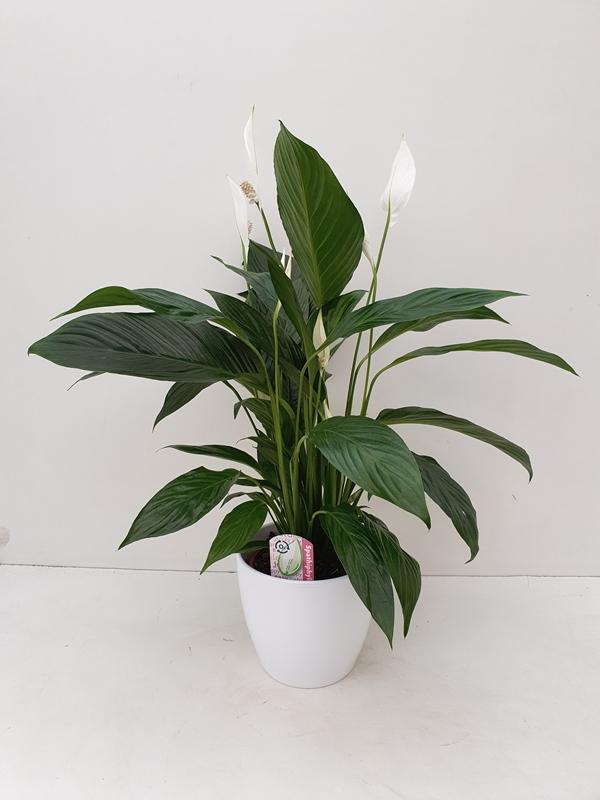 Spathiphyllum in pot
